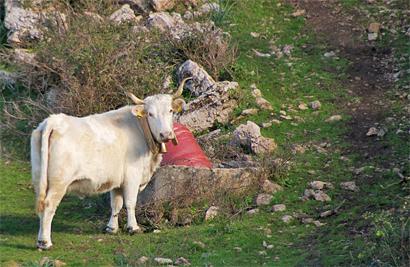 Sizilien - Kuh im Bosco della Ficuzza