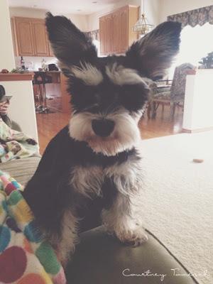 Courtney Tomesch Puppy Mini schnauzer