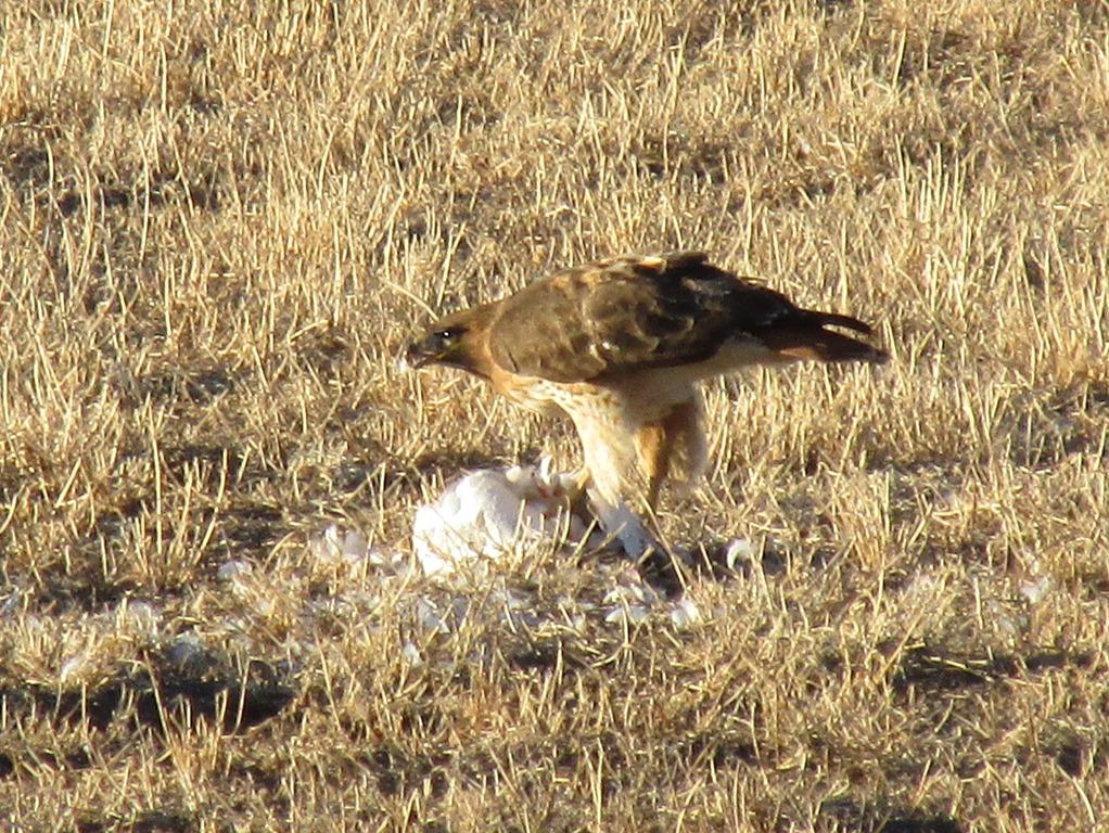 [2015-01-15+New+Mexico%2C+Sevilleta+NWR+-+Visit+to+Bosque+-+Ferruginous+Hawk+Bird+%282%29%5B9%5D]