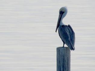 1512057 Dec 09 Pelican On A Post