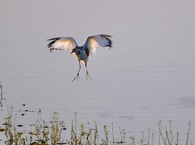 Pheasant-tailed Jacana Pic: Sujesh S.