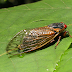 The 17-Year Cicadas Are Coming. Here's How To Cook Them Up And Chow Them Down.