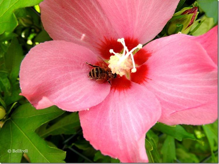 Bienenhibiskus rosa groß