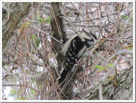 2017-05-05 Florida, Stuart - Downy Woodpecker Bird (3)