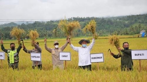 Gubernur Mahyeldi Lakukan Panen Raya,  Solok Salah Satu Lumbung Beras Nasional