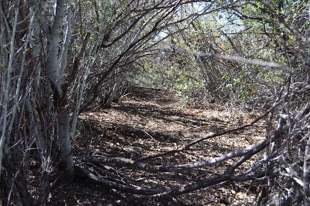 not a bear tunnel through the ceanothus