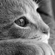 к чему снится серая кошка?