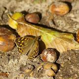 Pararge aegeria L., 1758. Les Hautes-Lisières (Rouvres, 28), 22 septembre 2011. Photo : J.-M. Gayman