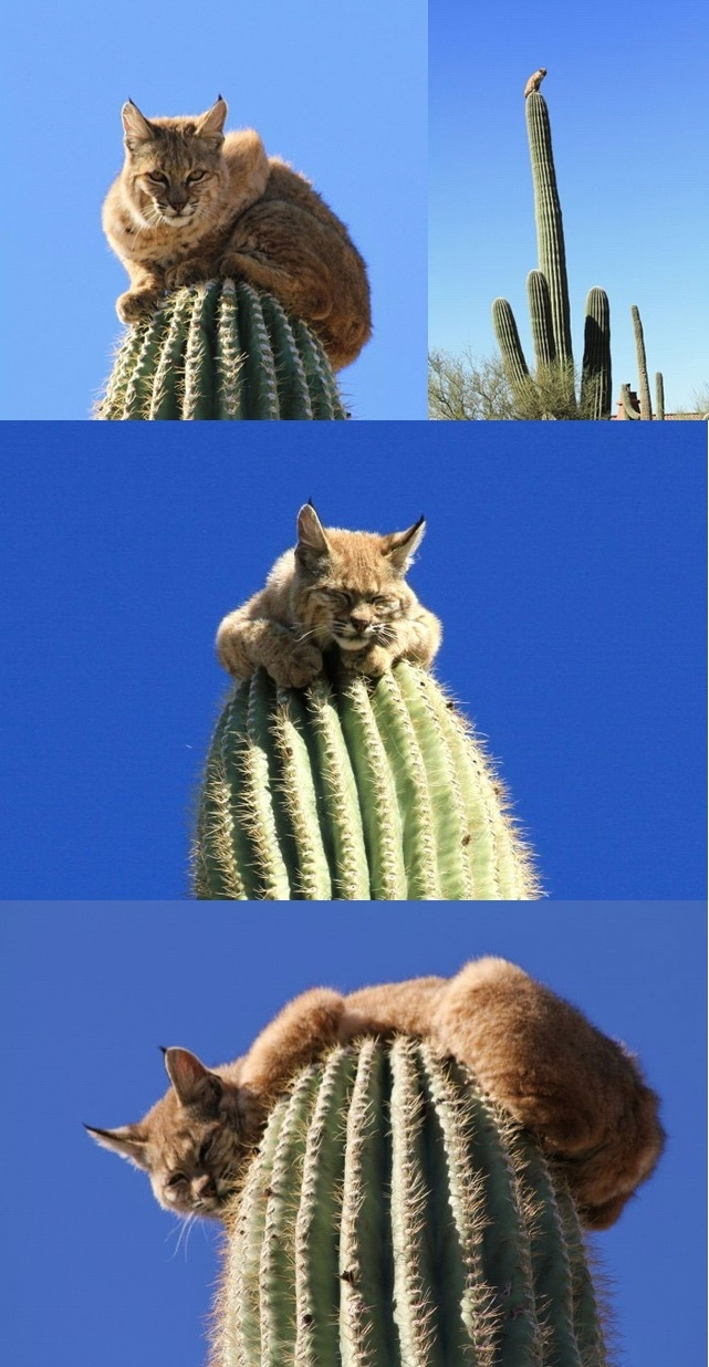 Bobcat sitting on a cactus
