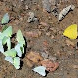 Diverses Pieridae : Ascia monuste orseis (GODART, 1819), mâle (blanc), Rhadbodryas trite (L., 1758), mâle (vert) et Phoebis philea (L., 1763), mâle (jaune). À proximité du Rio Teles Pires, município de Nova Canaã do Norte (Mato Grosso, Brésil), 11 juin 2011. Photo : Cidinha Rissi