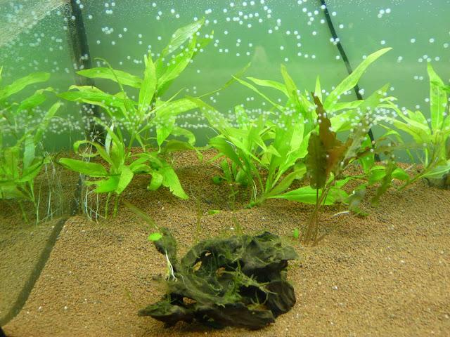 Ma petit histoire Aquariophile de 2009 à aujourd'hui  P1020574