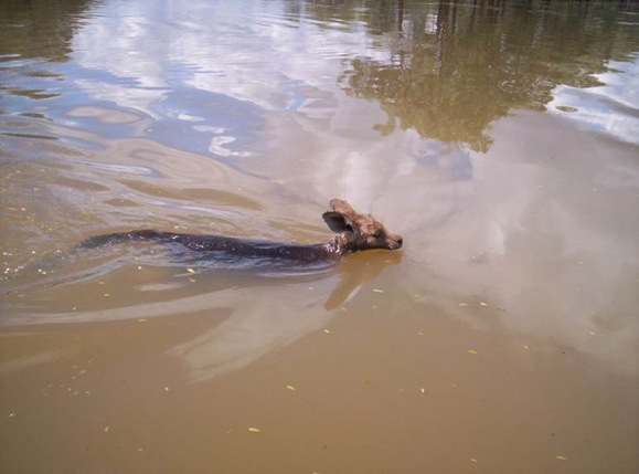 Les inondations au Queensland : wallaby