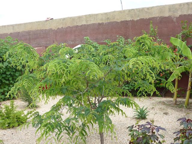 le tamarinier (Tamarindus indica)  - Page 3 P1020921