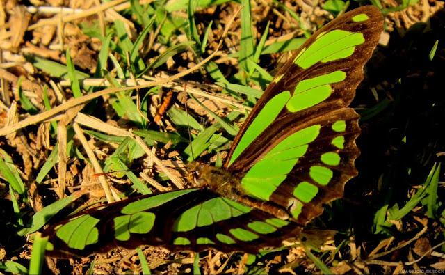 Philaethria dido dido (LINNAEUS, 1763). Environs de Curitiba (Paraná, Brésil), 8 juin 2013. Photo : Mauricio Skrock