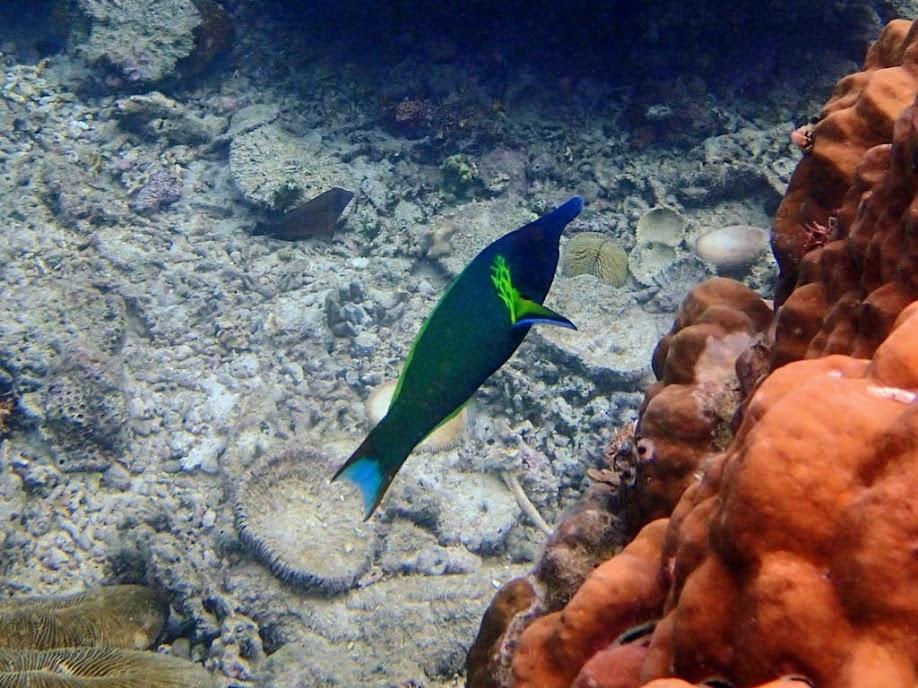Gomphosus varius (Bird Wrasse), Miniloc Island Resort reef, Palawan, Philippines.