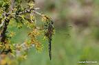 Plettet smaragdlibel, Knisa Mosse, 16/6 2011