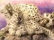 White Jaguars