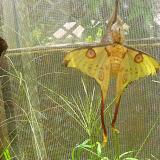 Argema mittrei (GUÉRIN-MENEVILLE, 1846), endémique, mâle. Parc à papillons entre Andasibe et Tananarive (Madagascar), 1er janvier 2014. Photo : J. Marquet
