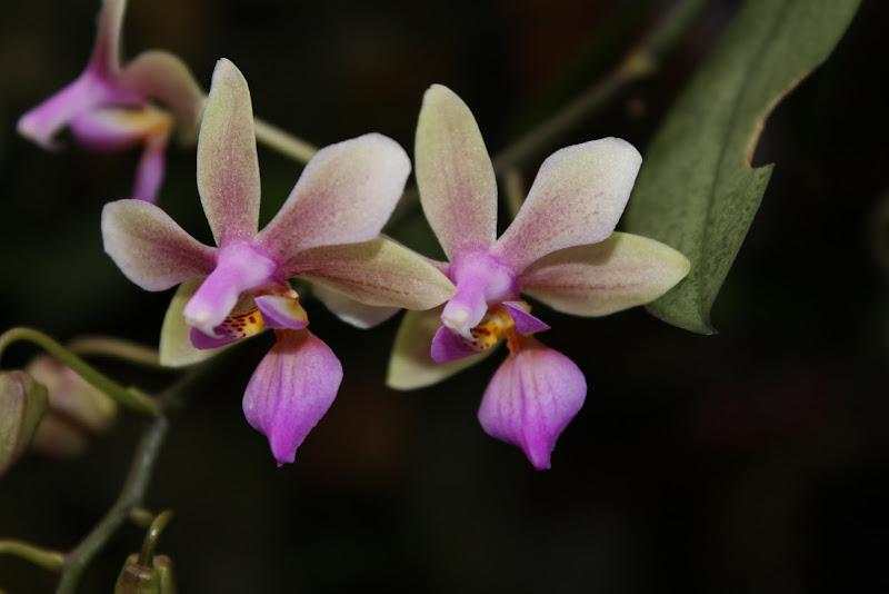 Phalaenopsis Ecoute S'il Pleut IMG_2558