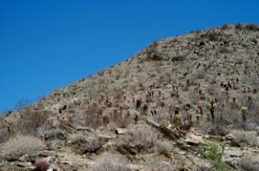 Cacti on Victor Trail