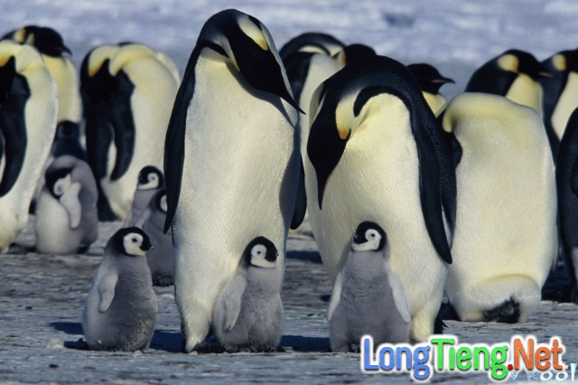 Xem Phim Hành Khúc Chim Cánh Cụt - March Of The Penguins - phimtm.com - Ảnh 2