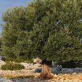 Mediteran Pag LUN,Millennial olive trees