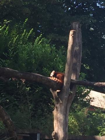 Zoo de Lille panda roux