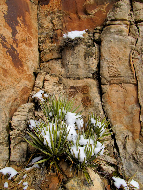 Yucca and snow