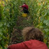 Petites vendanges 2017 du chardonnay gelé. guimbelot.com - 2017-09-30%2Bvendanges%2BGuimbelot%2Bchardonay-200.jpg