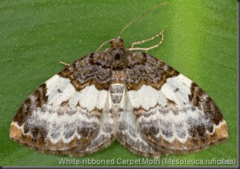 7307 White-ribboned Carpet Moth (Mesoleuca ruficillata)