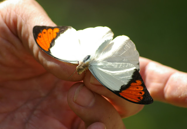 Hebomoia glaucippe borneensis WALLACE, 1863, mâle. Gomantong, 14 août 2011. Photo : J.-M. Gayman