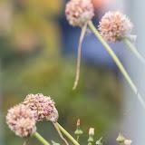 Чеснок (Allium sativum)