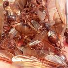 chicatana ants