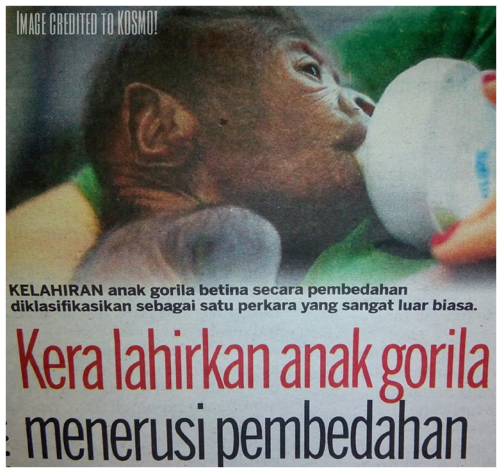 Macam-macam : Kera lahirkan anak gorila.