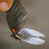 Papilio memnon memnon LINNAEUS, 1758, mâle. Sukau (Sabah), 7 août 2011. Photo : J.-M. Gayman