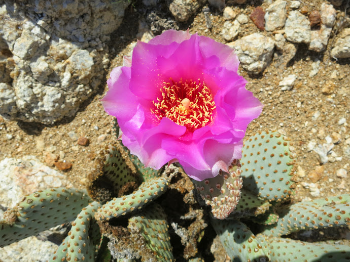 Beavertail Cactus Blooom