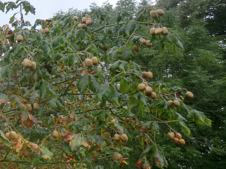 CIMG4628 Red Horse-Chestnut (Aesculus carnea), Cuckfield Park