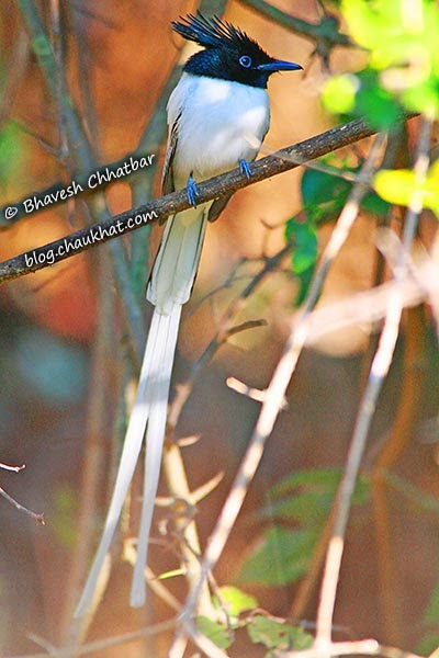 Asian Paradise Flycatcher [Sub-Adult Male]