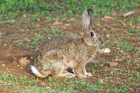 coniglio selvatico siciliano