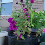 Gardening 2011 - 100_9258.JPG