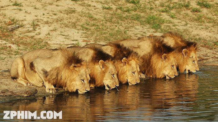 Ảnh trong phim Đàn Sư Tử Khét Tiếng Nhất Châu Phi - Brothers in Blood: The Lions of Sabi Sand 1