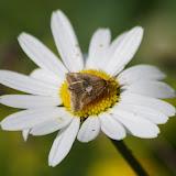 Noctuidae. Fex Crasta, 2000 m (Engadine, Grisons, CH), 14 juillet 2013. Photo : J.-M. Gayman