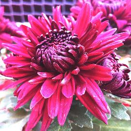 SEMBARUTHI by Vpsamy Vpsamy - Flowers Flower Buds