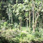 Hawaii_Rainforest.jpg