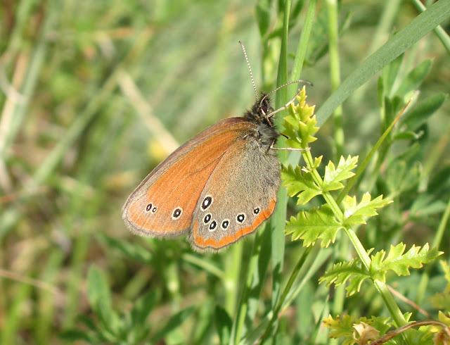 Coenonympha nolckeni ERSCHOFF, 1874 (1900 m). Kekemeren, 1er juillet 2006. Photo : J. Michel
