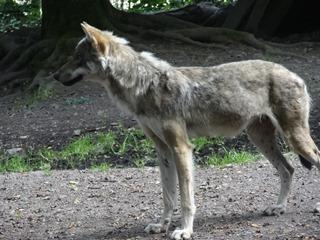 2016.07.31-044 loup d'Europe