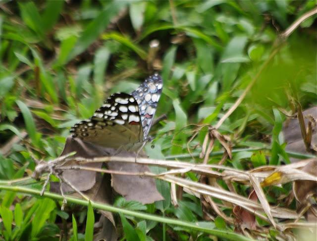Hamadryas feronia farinulenta (Fruhstorfer, 1916). Cupiagua, 720 m (Casanare, Colombie), 5 novembre 2015. Photo : J.-M. Gayman