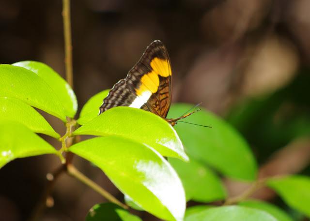 Adelpha melona leucocoma FRUHSTORFER, 1915. Patawa (Montagne de Kaw), 25 octobre 2012. Photo : J.-M. Gayman