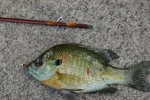 this bluegill broke my rod