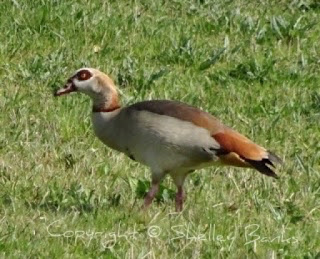 Egyptian Goose. Amsterdam.  © Copyright, Shelley Banks, all rights reserved.